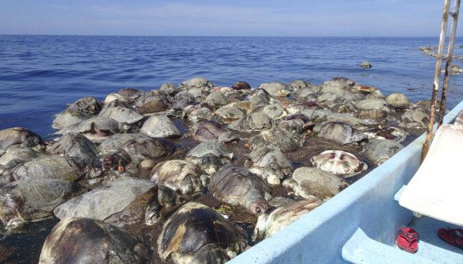 У побережья Мексики погибли сотни очень редких морских черепах