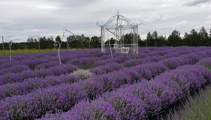 Četri dārzi Latvijā, kur baudīt aromātiskos lavandu laukus