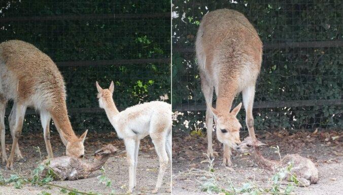 Rīgas zoo piedzimis vikunju mazulis