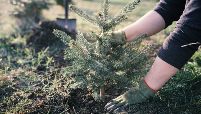 Dārzkopības eksperta ieteikumi, kā pareizi eglīti podiņā izstādīt dārzā