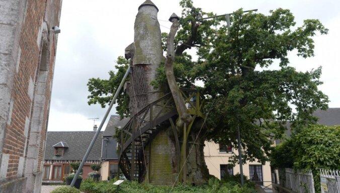 Francijas vecākais koks, kurā jau simtiem gadu ir Dievmātes kapela