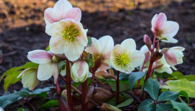 Dārzkopības eksperts kliedē bažas par siltā janvāra ietekmi uz dārziem