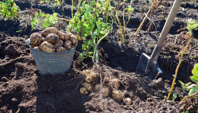 В этом году картофель в Латвии может подорожать