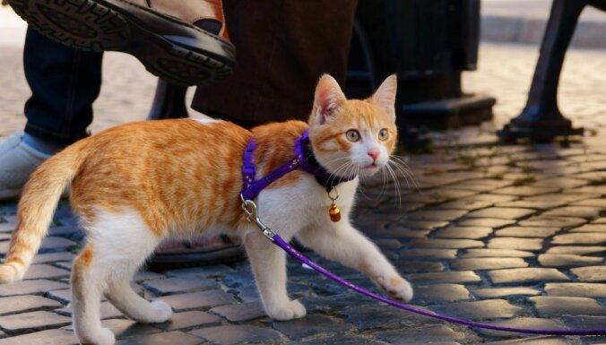 Kā iemācīt kaķi pārvietoties pie pavadas