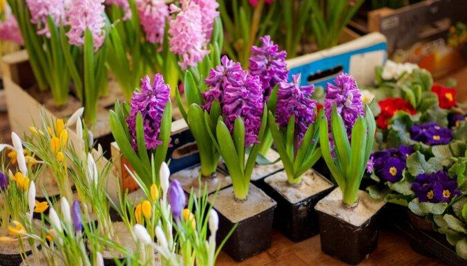 Vai pavasarī var izstādīt ārā podiņā noziedējušo hiacinti