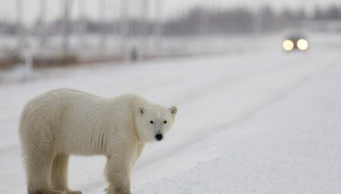 Norvēģijas valdība meklē darbinieku - ledus lāču atbaidītāju