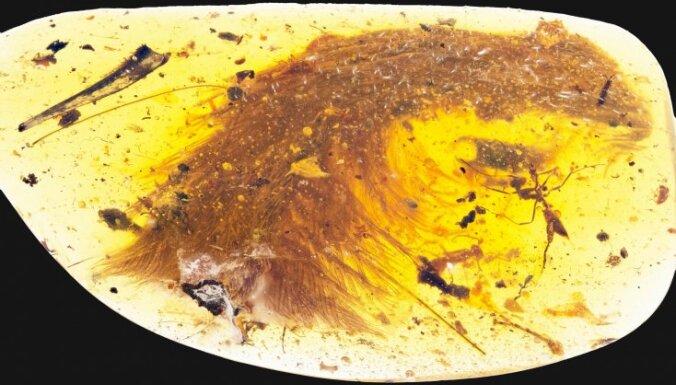 В куске янтаря нашли хвост миниатюрного динозавра