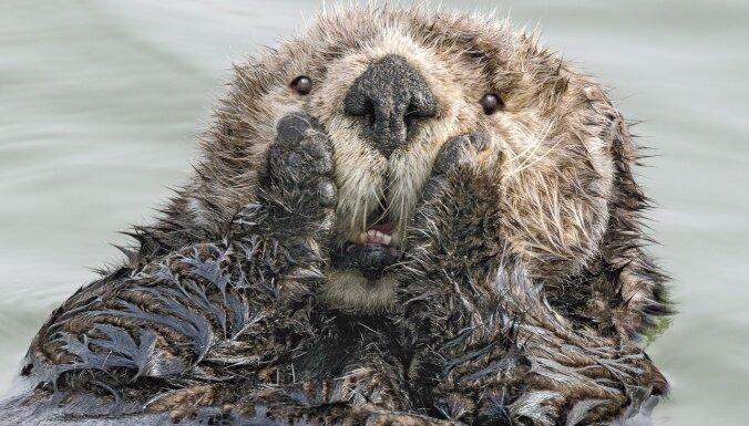Dancojošas lauvas un pārsteigts ūdrs: amizanti foto no dzīvnieku pasaules