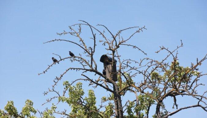 Skanstes mazdārziņu teritorijā krūmu un augļu koku tīrīšanas darbi apturēti līdz 30. jūnijam
