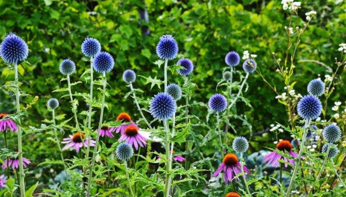 Zilais dadzis dārzā – ežziede