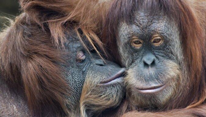Британские ученые: крики орангутанов могут пролить свет на эволюцию языка