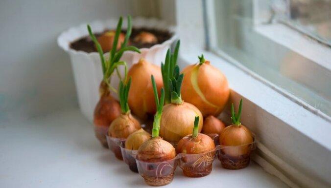 Pirmie zaļumi uz palodzes: audzētāju ieteikumi sulīgu lociņu izaudzēšanai