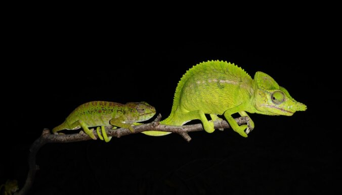 Tā ir jāprot maskēties – Madagaskarā atkal pamana 100 gadus neredzētus hameleonus
