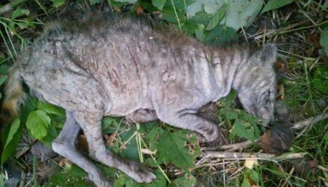 """ФОТО: грибники нашли в лесу мертвую """"латгальскую чупакабру"""""""