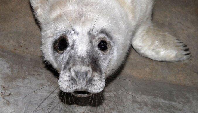 С пляжа в Вентспилсе в Рижский зоопарк доставили раненого тюлененка