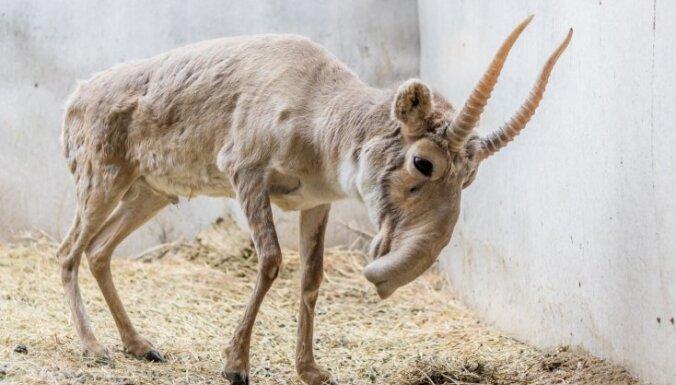 Reti dzīvnieki, kuri joprojām sastopami Krievijas savvaļā