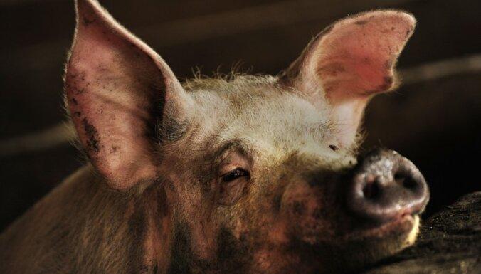 Новый вирус свиного гриппа. Грозит ли миру еще одна пандемия?