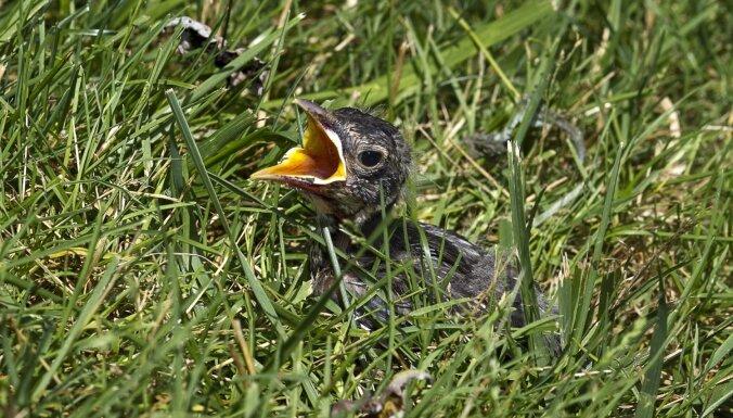 Kā rīkoties, ja esi atradis putna mazuli