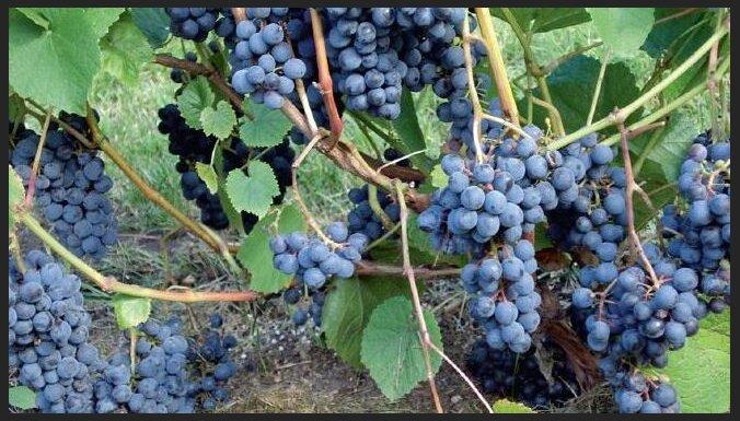 Populāras vīnogu šķirnes, kas lieliski aug arī Latvijā
