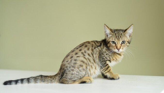 Milzīgi un mīļi: pieci kaķi, kuri izaugs neparasti lieli