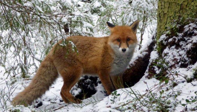 """ФОТО: В Лигатне """"сердобольный"""" нарушитель выпустил лис на волю: одно животное в итоге погибло в муках"""