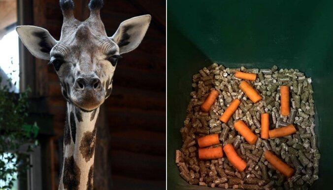 Ar ko baro nu jau divgadnieci – Rīgas zoo jauno žirafi Vakiliju