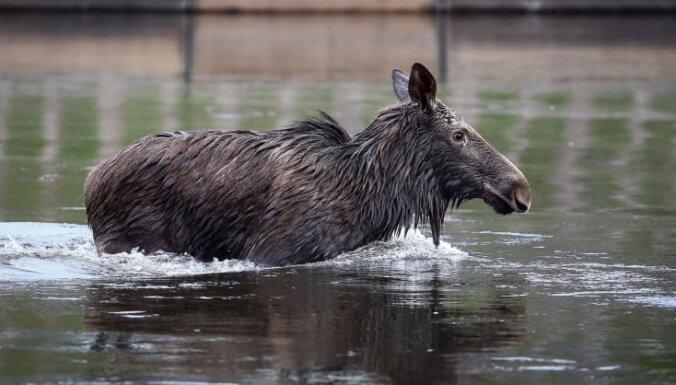 Рига: полиция и спасатели помогли едва не утонувшему в Даугаве лосю