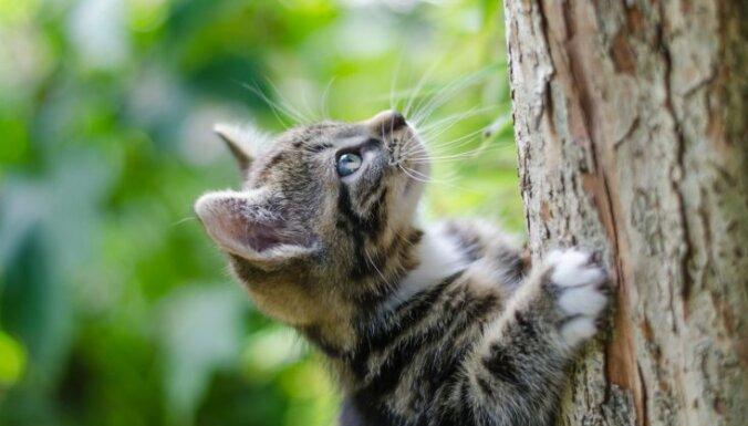 Kaķis uzrāpjas kokā un netiek lejā – kādos gadījumos VUGD palīdz dzīvniekiem