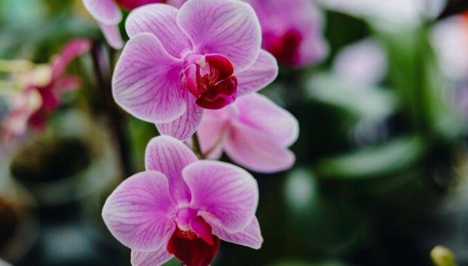 Orhidejas – grūti kopjami augi? Seši izplatīti mīti par telpaugu kopšanu