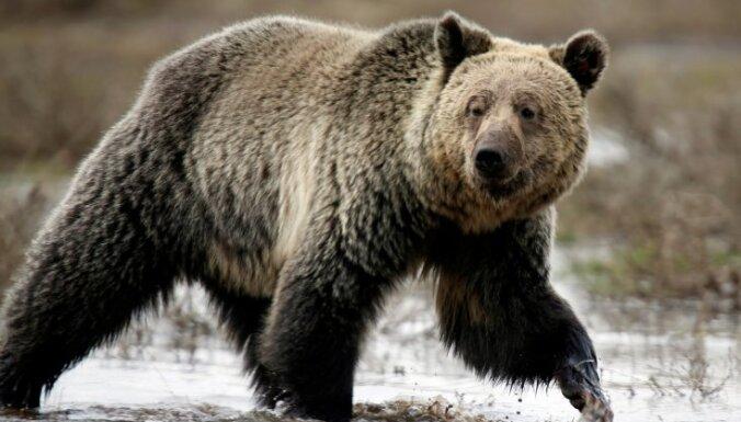 На Аляске 11-летний мальчик спас взрослых от нападения медведя