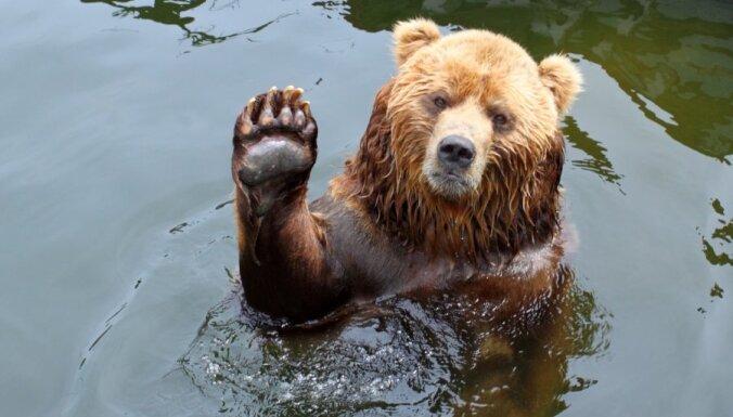 ФОТО: Он вернулся! В Елгавском крае снова замечен медведь