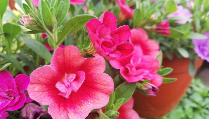 Zieds ar miljons zvaniņiem un petūniju 'māsīca': kalibrahoja