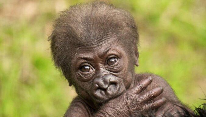 Foto: Kā gorillu omīte rūpējas par mazbērniņu
