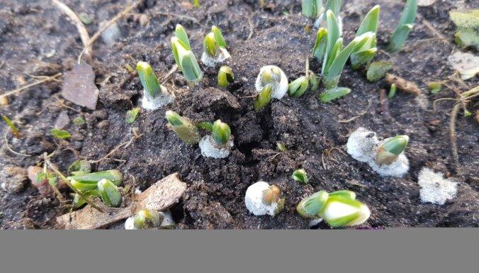 Sniegpulkstenīšu sīpols par simtiem eiro? Guna Rukšāne stāsta par pavasara vēstnešu audzēšanu
