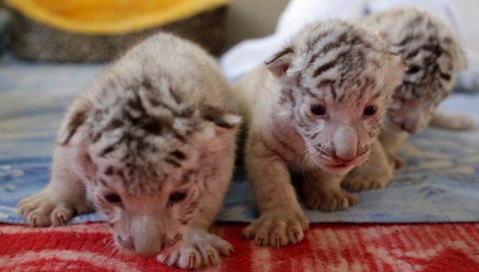 Foto: Zoodārzā Krimā dzimuši reti tīģerēni, kuri nosaukti par trim musketieriem