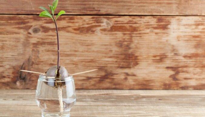Kā izaudzēt avokado augu no kauliņa?