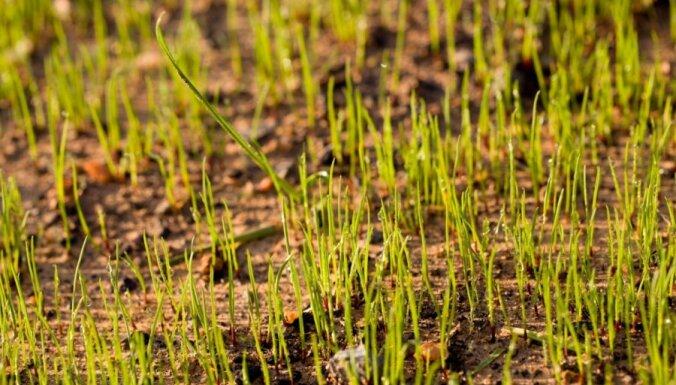 Lauksaimnieki: uz graudaugu rekordražām šogad nevar cerēt