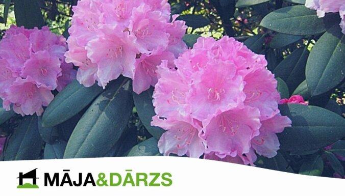 Konkurss 'Māja&Dārzs' lasītājiem – laimē krāšņu rododendru!