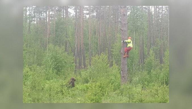 ФОТО: Шутка? Спасаясь от медведя, человек залез на дерево
