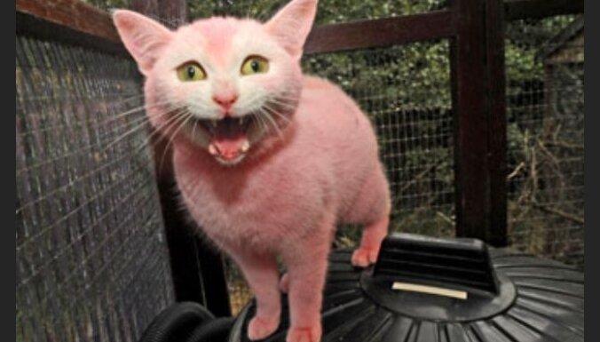 Rozā kaķis