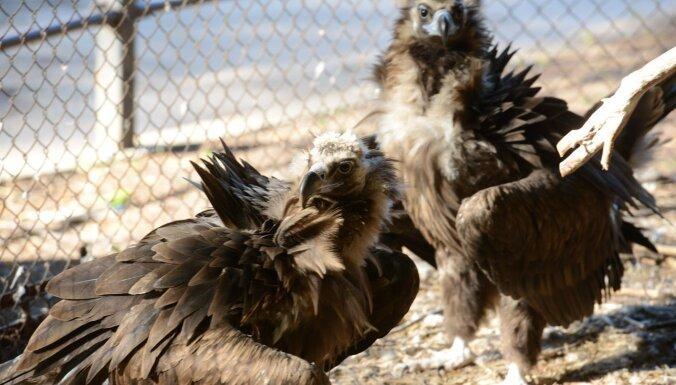 ФОТО. В Рижском зоопарке вновь можно полюбоваться на грифов
