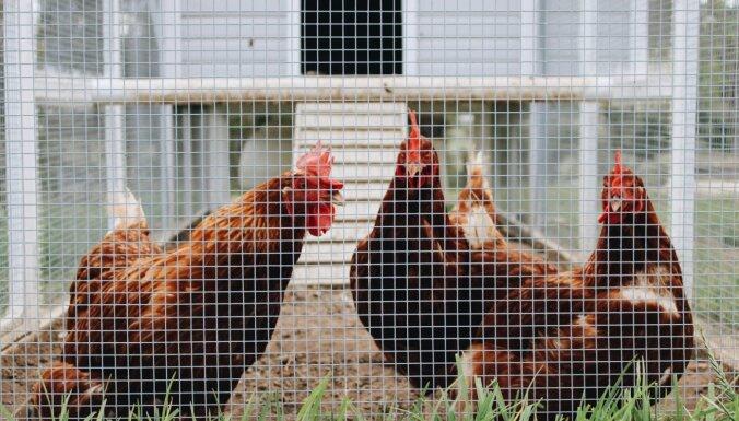 Gribu dārzā vistu kūti: ar ko sākt?