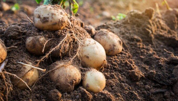 Pašmāju pērle – kartupelis. Tā labās īpašības un ieteikumi gardām receptēm