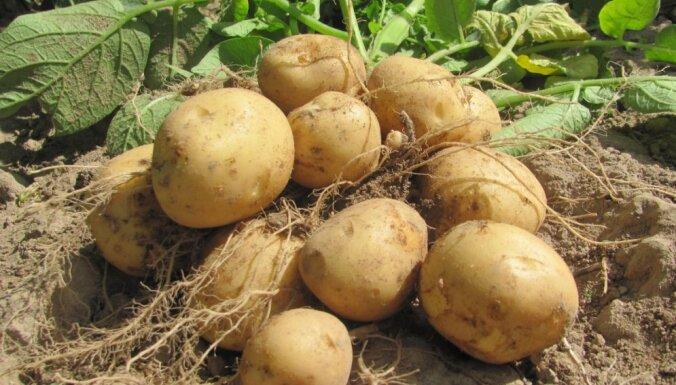 Šķirņu saraksts un diedzēšanas paņēmieni: kartupeļu stādīšanas ABC