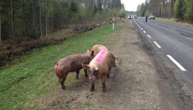 Igaunijā desmitiem cūku gājušas bojā autoavārijā; citas iemukušas mežā (+FOTO)