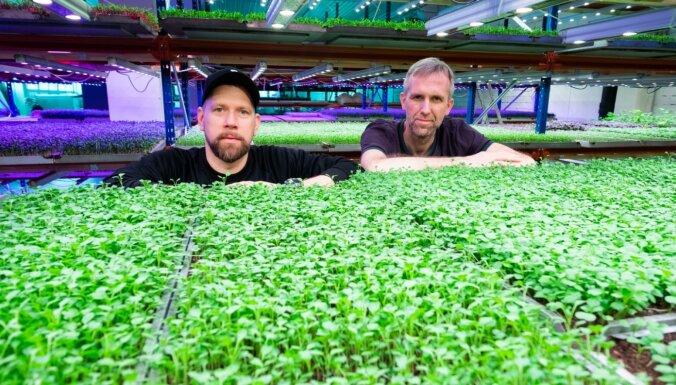 Pirmie zaļumi mājās: audzētāju padomi, kā pašam izaudzēt mikrosalātus