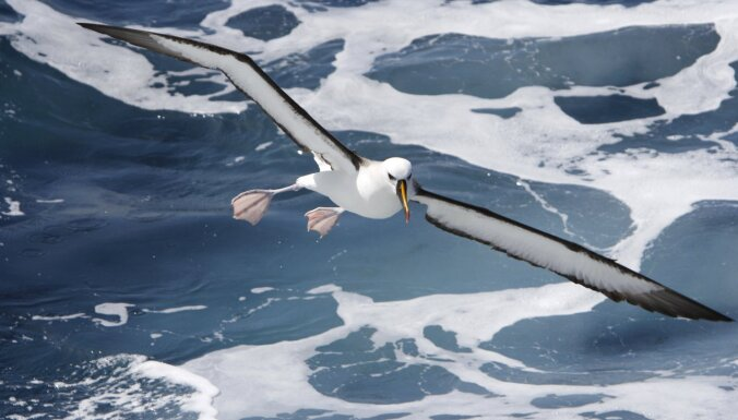 Гигантские мыши с острова Гоф уничтожают тристанских альбатросов. За это их убьют