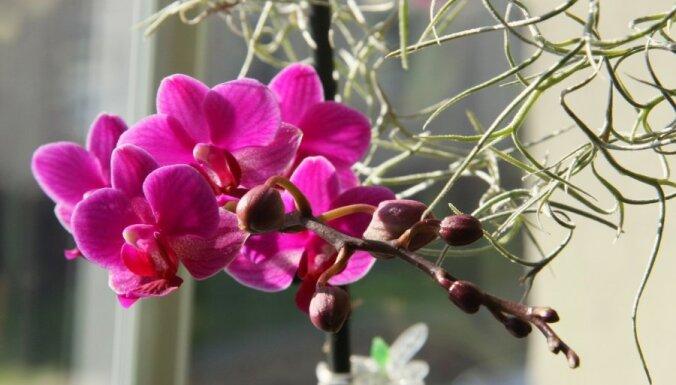 Kaisles ziediņš - orhideja