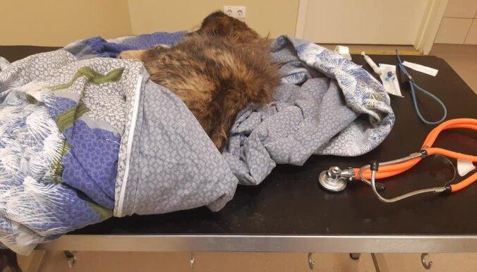 В канаве нашли раненную и брошенную умирать собаку: ветеринарам не удалось ее спасти (ОБНОВЛЕНО)