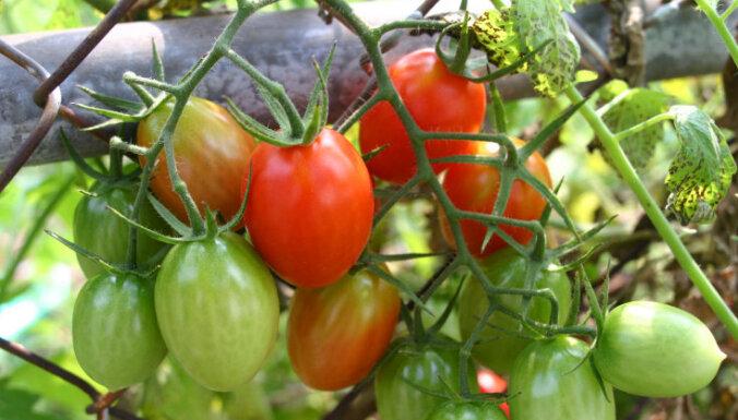 Tautas pieredze tomātu laistīšanā siltumnīcās